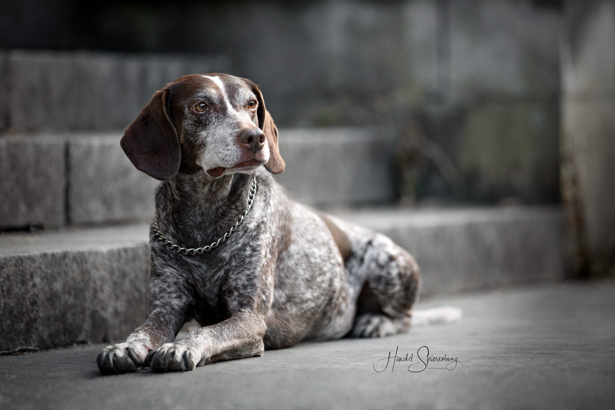 Pixie de hond